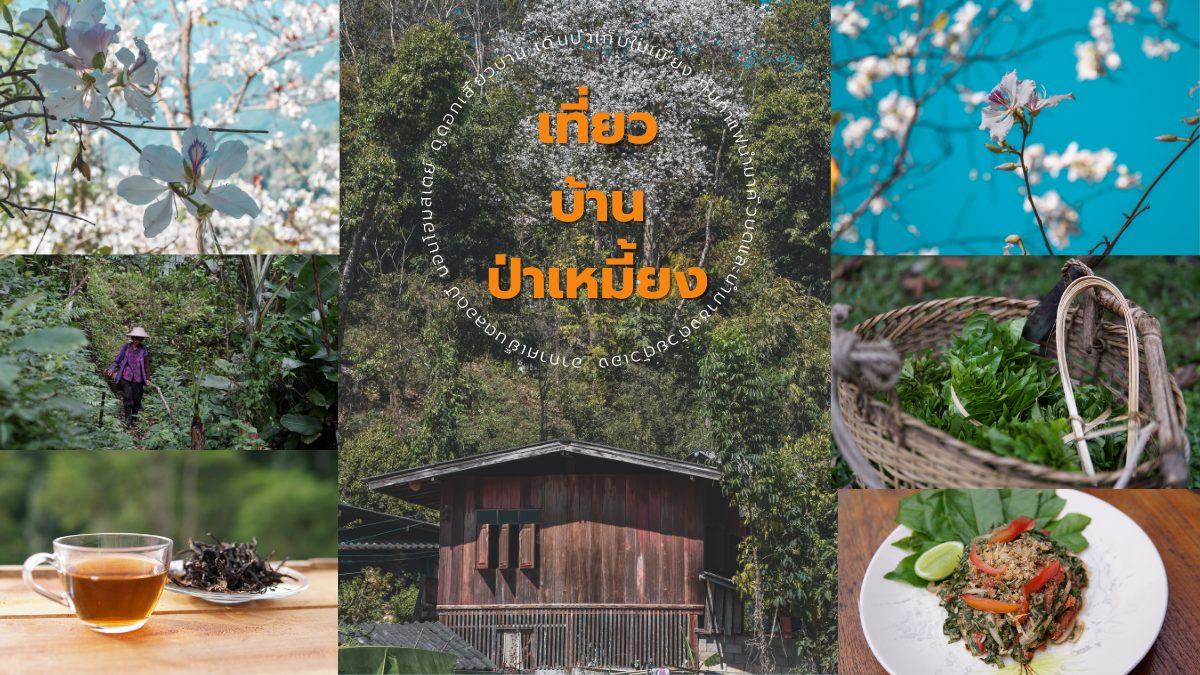ที่พัก ที่เที่ยวธรรมชาติ ที่เที่ยวลำปาง บ้านป่าเหมี้ยง เทศกาลดอกเสี้ยวบาน บ้านป่าเหมี้ยง โฮมสเตย์