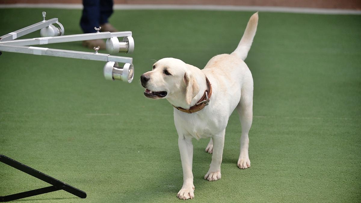 คณะสัตวแพทย์ จุฬา สุนัขดมกลิ่นหาผู้เชื้อโควิด โควิด-19 โควิด-19 ไทย