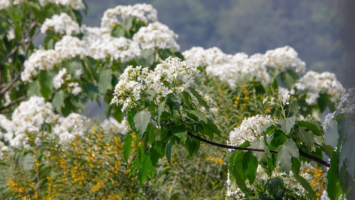 ดอกมะเยาหินภูเขาเทียนจู ท่องเที่ยว ประเทศจีน ภูเขาเทียนจู