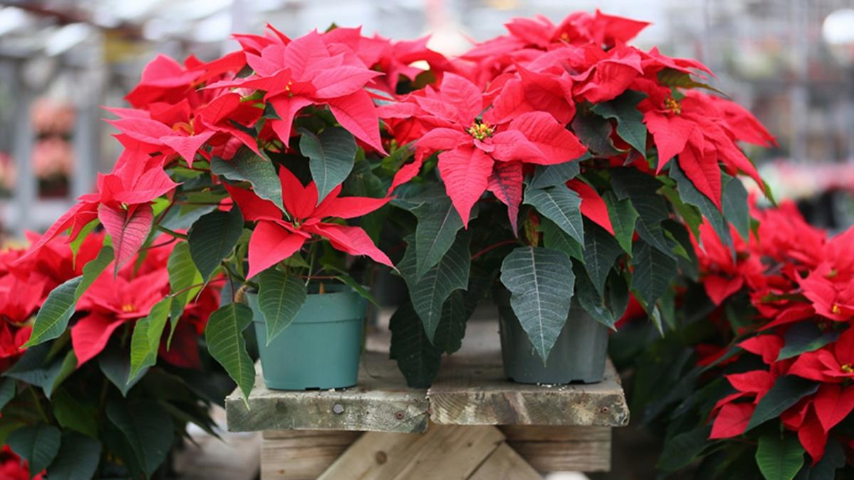 ต้นคริสต์มาส ต้นไม้ฟอกอากาศ วิธีปลูกต้นคริสต์มาส ไม้ประดับดูดสารพิษ