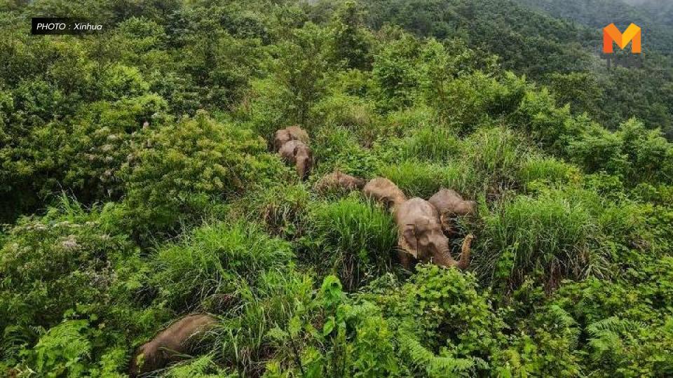 ข่าวต่างประเทศ ช้างป่าในจีน โขลงช้าง