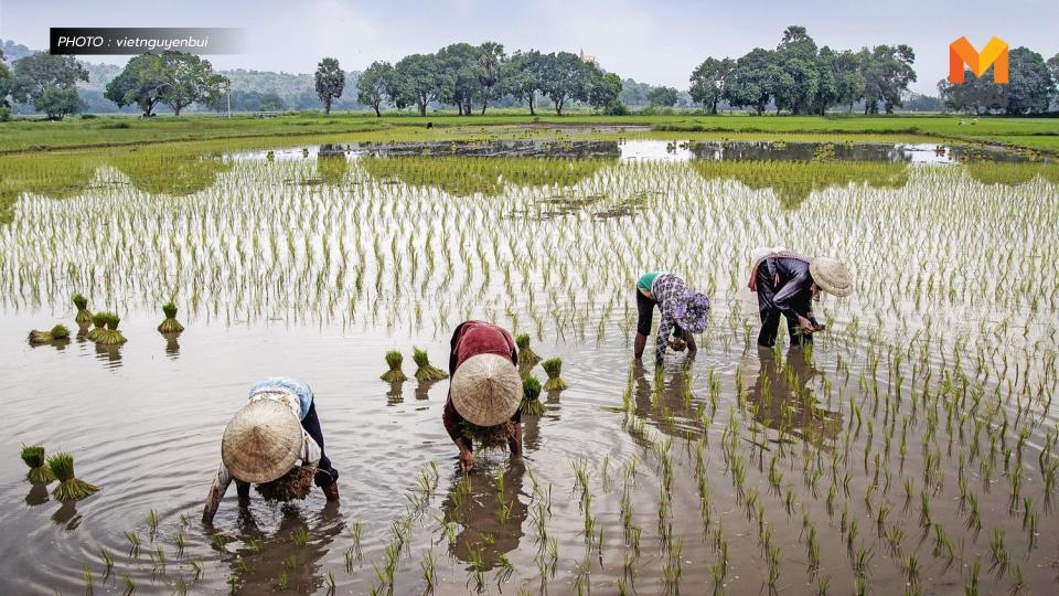 ข้าวอินทรีย์ ชาวนา ปลูกข้าว เงินอุดหนุนเกษตรกร