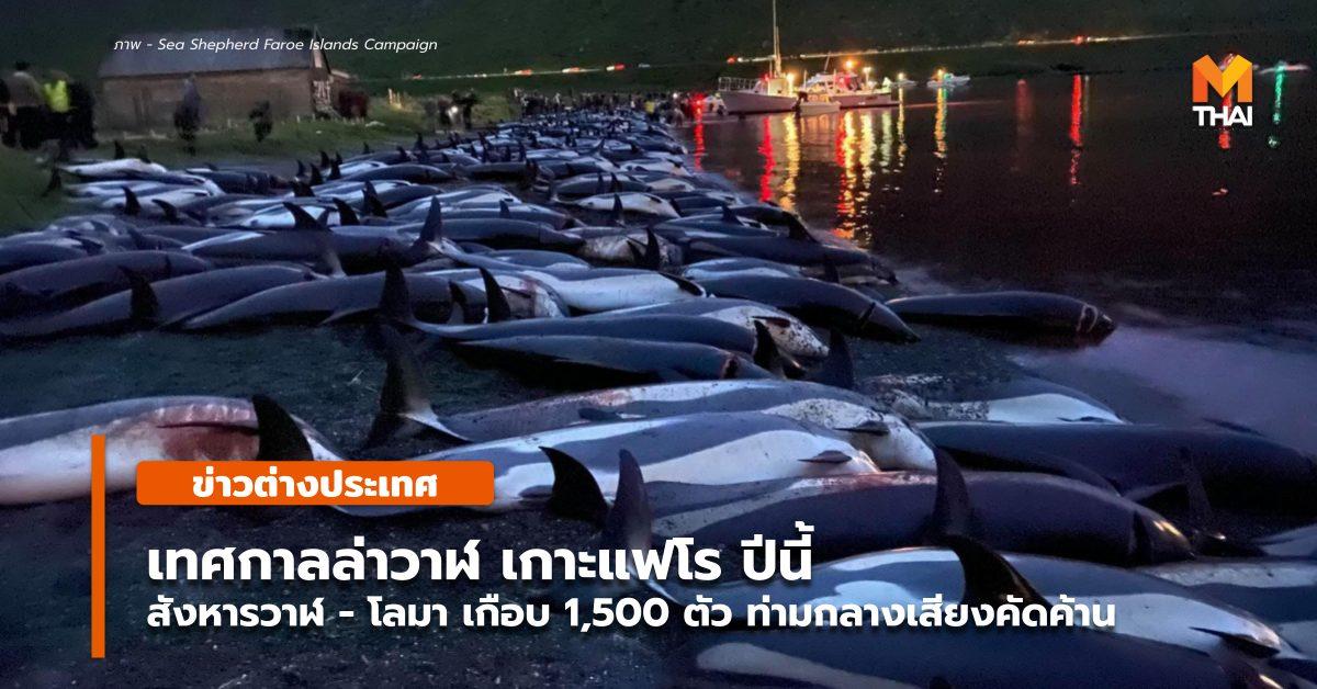 ข่าวต่างประเทศ เกาะแฟโร เทศกาลล่าวาฬ