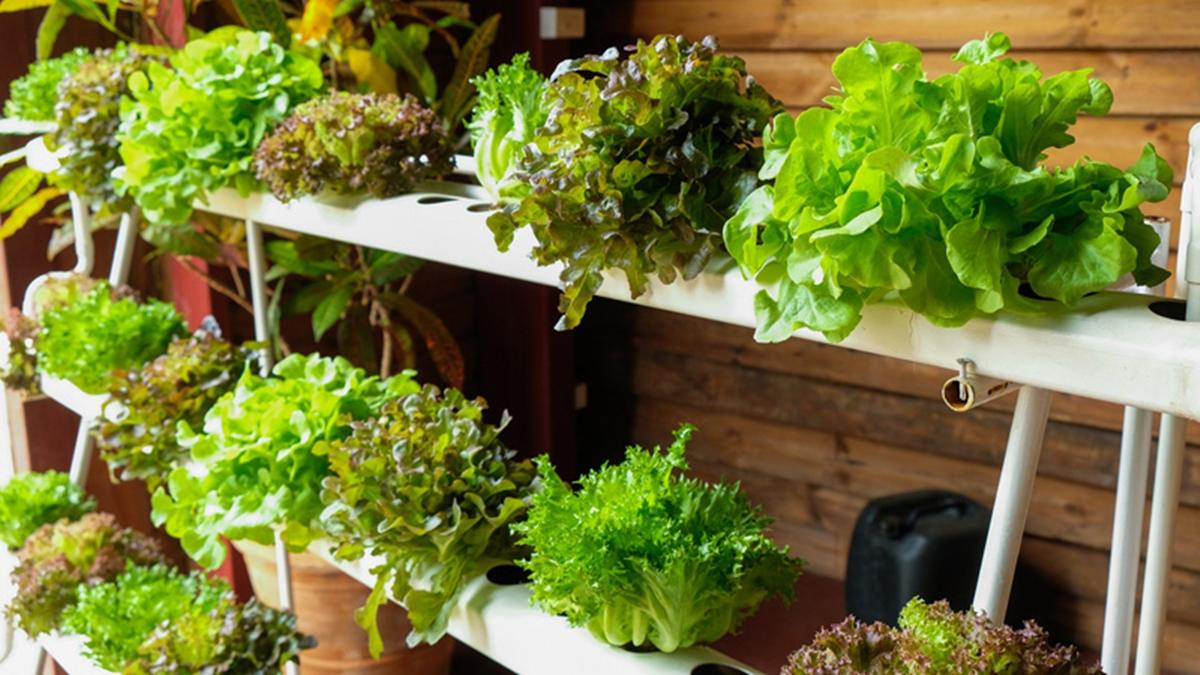 ปลูกผักสวนครัว ปลูกผักไฮโดรโปนิกส์ ผักสวนครัว วิธีปลูกผัก วิธีปลูกผักสลัด